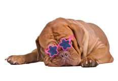 Wrinkled puppy with starglasses is sleeping Royalty Free Stock Photos