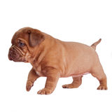 Wrinkled puppy walking Royalty Free Stock Photo