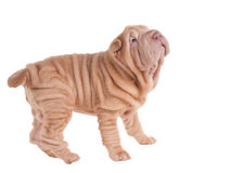 Wrinkled sharpei puppy playing Stock Image