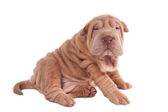 Wrinkled sharpei puppy sitting Stock Images