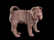 Wrinkled sharpei puppy standing Stock Images