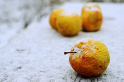Wrinkled yellow apples in the snow Stock Image