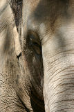 Wrinkles. A close up of this elephant reveals the wrinkles royalty free stock images