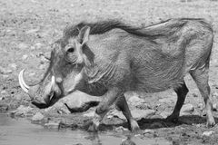 Wrinkles and Warts - African Warthog boar. Adult male Warthog drinking water on a game ranch in Namibia, Africa Royalty Free Stock Photography