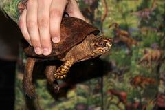 Wrinkly brown żółw Zdjęcia Royalty Free