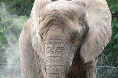 Wrinkly elefant Royaltyfri Foto
