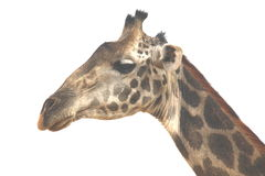Wrinkly Giraffe stock images