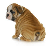 Wrinkly szczeniak zdjęcia royalty free