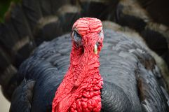 Wrinkly Turkey bird Stock Photos