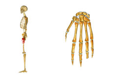 Wrist bone Royalty Free Stock Photo