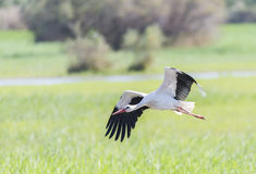 Write stork, ciconia ciconia Stock Photography