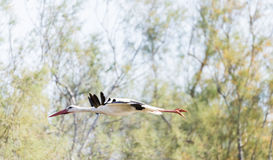 Write stork, ciconia ciconia Stock Photo