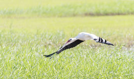 Write stork, ciconia ciconia Royalty Free Stock Images