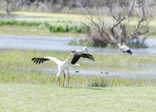 Write stork, ciconia ciconia Royalty Free Stock Image