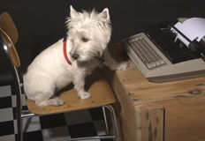 Writer's Block II. White West Highland Terrier sitting on a chair in front of a typewriter on a wooden crate stock images