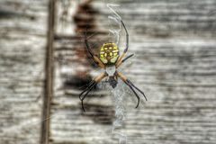 Writing spider. This spider is also known as a yellow garden argiope, yellow garden orb-weaver, golden garden spider, golden orb-weaver, and the writing spider Royalty Free Stock Image