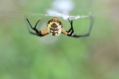 Writing Spider, Rear View stock images