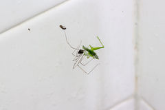 Writing Spider stunning a giant grasshopper after spinning its Royalty Free Stock Photo