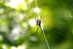 Writing Spider on the web. Picture a writing spider hanging on its web Royalty Free Stock Photos