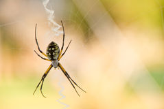 Writing spider in web Stock Photography