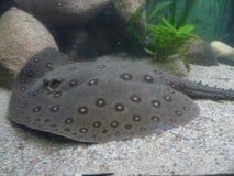 WROCŁAWSKI, SILESIA, POLSKA - piękny w mantach Ray w Wrocławskim zoo zdjęcia stock
