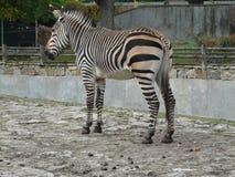 WROCLAW, СИЛЕЗИЯ, ПОЛЬША - зебра [Equus] в ЗООПАРКЕ Wroclaw стоковое изображение