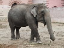 WROCLAW , SILESIA ,POLAND -Asian elephant [ Alphas maximus ] stock photos