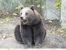 WROCLAW, SILESIA, POLONIA - oso marrón europeo, arctos del Ursus fotos de archivo