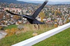 Wrona Bierze skok Zdjęcie Royalty Free