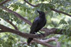 Wrona jest na gałąź przy jawnym miasto parkiem Obraz Royalty Free