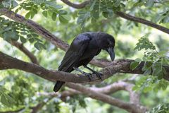 Wrona jest na gałąź przy parkiem Fotografia Stock