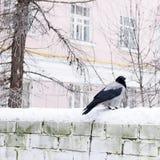Wrona na ściana z cegieł Zima, miastowi ptaki Fotografia Royalty Free
