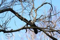 Wrona na drzewie Zdjęcia Royalty Free