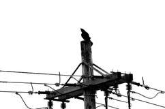 Wrona na linii energetycznej w czarny i biały zdjęcia stock