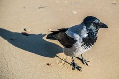 Wrona na piasku obraz stock