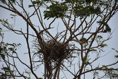 Wrona następnie w drzewie Fotografia Royalty Free
