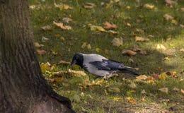 Wrona w jesieni trawie Obraz Stock