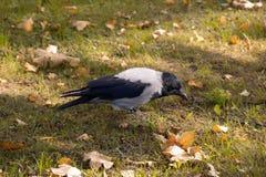 Wrona w jesieni trawie Obrazy Royalty Free