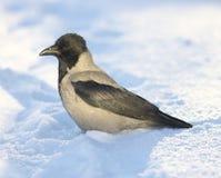 Wrona w śniegu ilustracja wektor