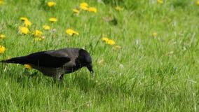 Wrona w trawie zdjęcie wideo