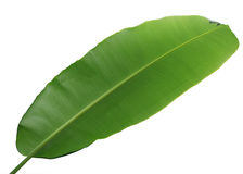 Wrong Side of Banana Leaf. Isolated on white background royalty free stock photos