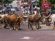 Wrong Way Cattle royalty free stock images