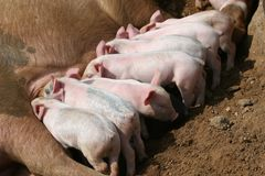 Wrong way pig. Feeding time for the pig family, one pig facing the wrong way Royalty Free Stock Photo