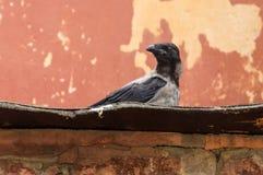 Wroni obsiadanie na starym dachu zdjęcia stock