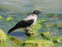 Wroni ptak Zdjęcia Stock