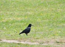 Wroni ptak na trawie Obraz Royalty Free