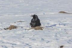 Wroni ptak z gniazdeczkiem na Jeziornym Khovsgol marznącym w zimie przy Mongolia Obraz Royalty Free