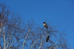 Wrony na brzozy drzewie fotografia royalty free