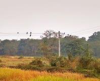 Wrony na kablu zdjęcie royalty free
