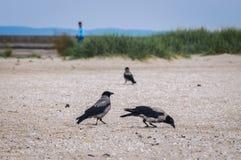 Wrony na plaży zdjęcia royalty free